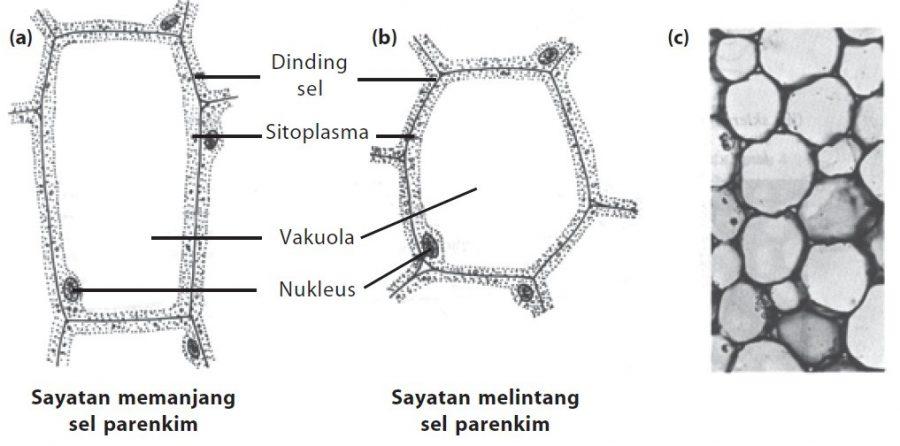 fungsi sel tumbuhan Sel Parenkim