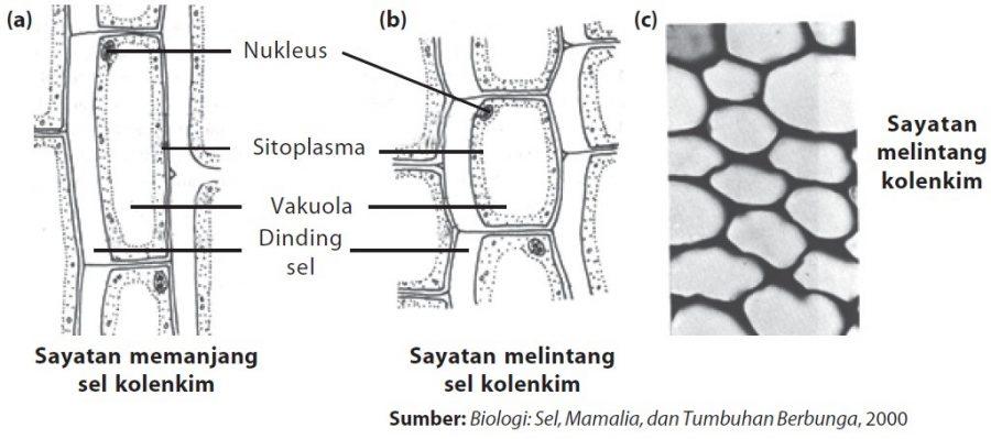 fungsi sel tumbuhan sel kolenkim