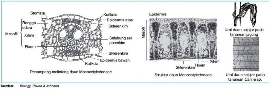 fungsi sel tumbuhan sel sklerenkim