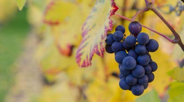 fin - buah untuk ibu hamil - 8 - anggur